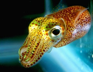 hawaiian_bobtail_squid041